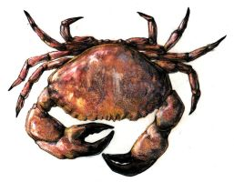 Crab study by bigredsharks