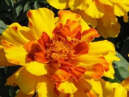 Marigold by picworth1000wrds