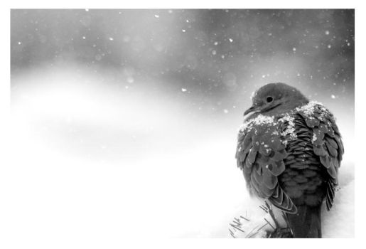 Mourning Dove I by Arcanacaries