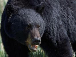 Black Bear-Bruiser by JestePhotography