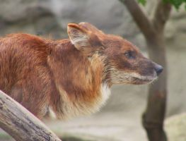 Dhole 04 by FoxRAGE-Stock