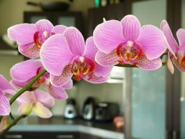 moth orchid by Von-Chan