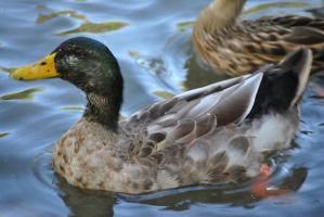 Duck by AzureWindProductions