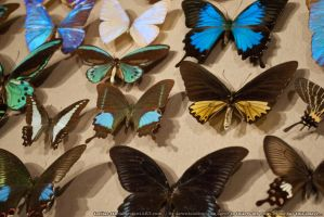 Butterflies : 03 by taeliac-stock