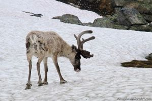 Reindeer on Snow by amrodel
