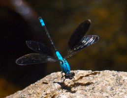 Blue dragonfly by Juliemarie91