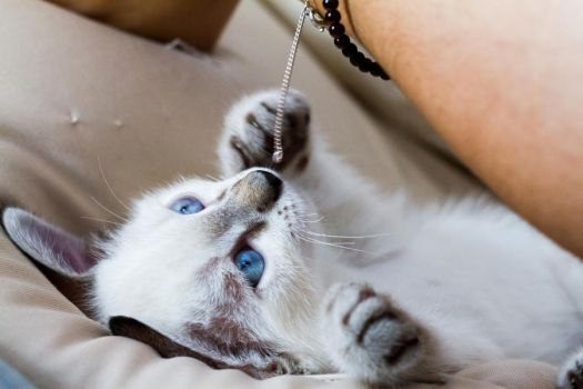 Withe Kitten by Tinuage08