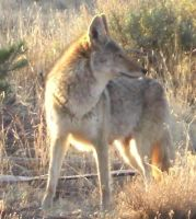 Coyote 3 by Wolf-of-Samhain