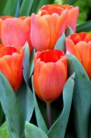 Spring Colors - Orange Tulips by dmguthery