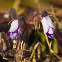 Anemone hepatica #3 by perost