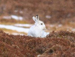Mountain Hare (Lepus timidus) by Somnp