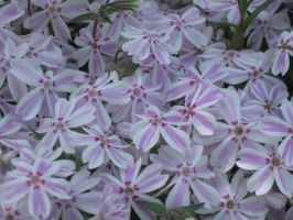 ground phlox by crazygardener