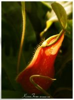 - Nepenthes sp. - by kissesfrom