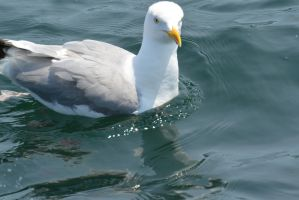 Seagull In the Ocean, Close Up by Miss-Tbones