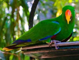 Male Eclectus 01 by Indefinitefotography