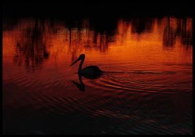 Lone Pelican on Sunset by kausca