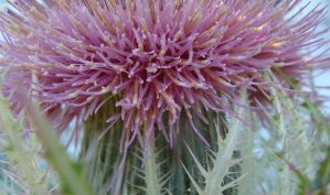 Texas Thistle by whipzter