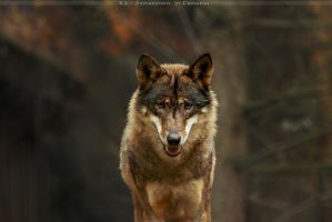 Big bad Wolf by Khalliysgraphy