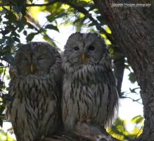 Ural Owls by MorganeS-Photographe