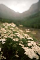 Yarrow by whimsicalchaos