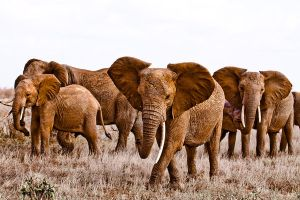 red elephants by Lisa-M-T