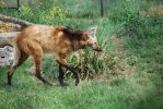 Maned Wolf 01 by ManitouWolf