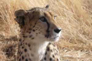 Cheetah by Windstern