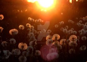 Dandelion sunset by Gunpowdersmoke