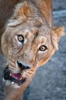 Lion Face II by amrodel
