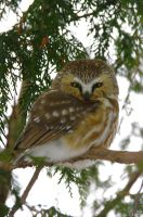 Northern Saw Whet Owl by Destined2see