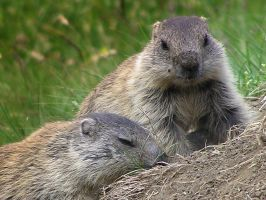 Two little marmots by edelweiss26