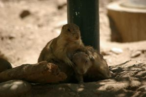 Prairie dogs 5 by Silver-she-wolf-14