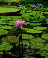 barns-en water lily by barns-en