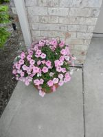 2015 Pink Flowers in an Outdoor Flower Pot by dth1971