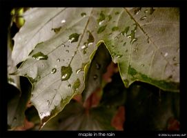 maple in the rain by bodegas