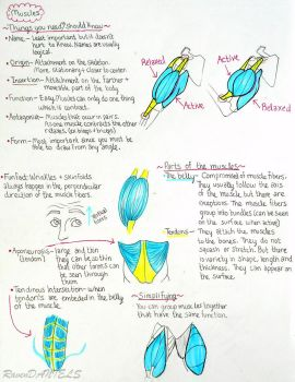 intro to muscles notes (proko) by RavenDANIELS