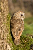 Tawny owl on a mossy tree by AngiWallace