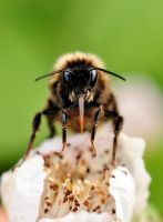 Bumble by waggysue
