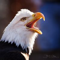.:Screaming Eagle:. by RHCheng