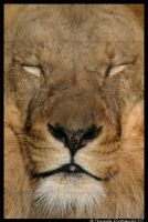 Lion Face by TVD-Photography