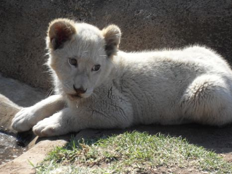White Lion Cub by elliexasperate