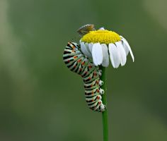 Common Yellow Swallowtail by lisans