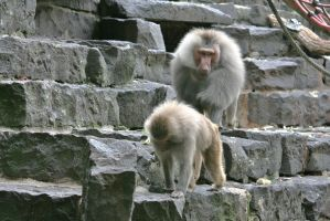baboons 2 by ingeline-art