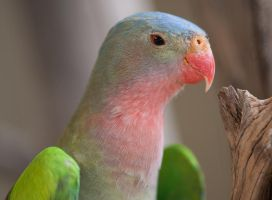 Princess (Alexandra's) Parrot by 88-Lawstock