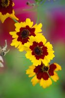 coreopsis by cheah77