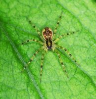 Fishing Spider - Dolomedes - Spiderling by WanderingMogwai