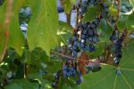 Oregon Grape by tepuitrouble