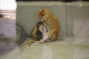 Patas monkey IV by Silver-she-wolf-14