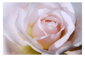rosa by stg123