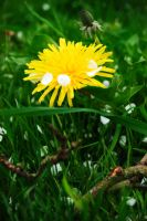 Dandelion by Mythai